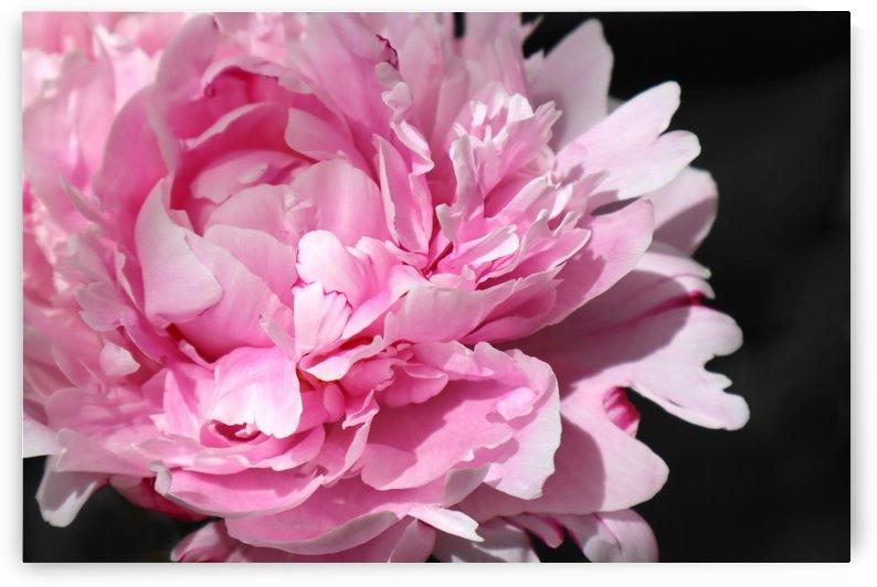 peonia rosada 3 by blursbyai