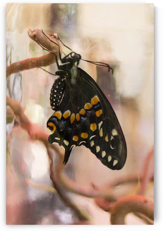 Black Swallowtail Butterfly in a Jar by MM Anderson