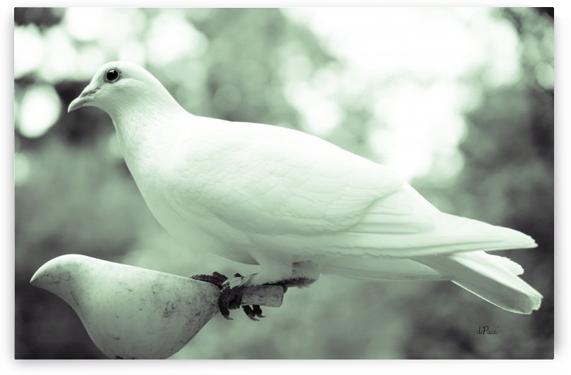 Dove enjoying a meal by dePace-