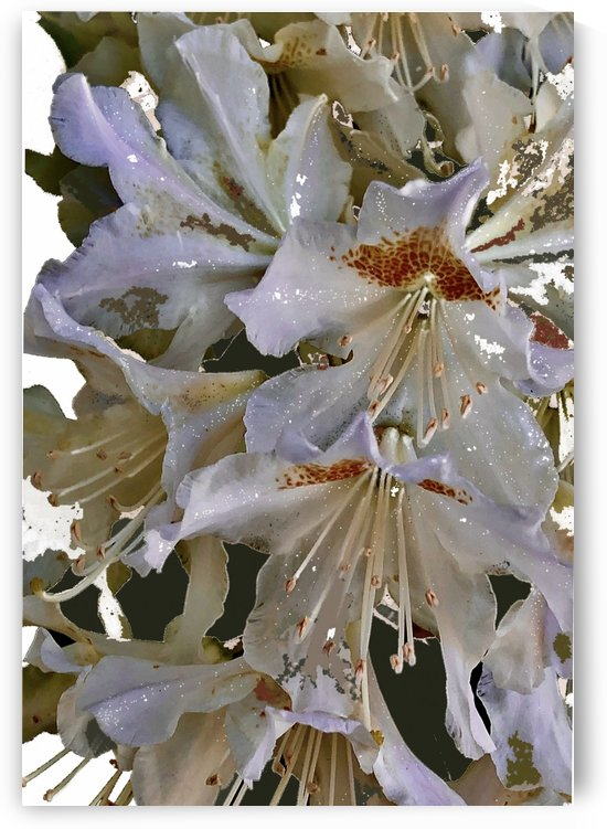 White Rhododendron by BotanicalArt ca