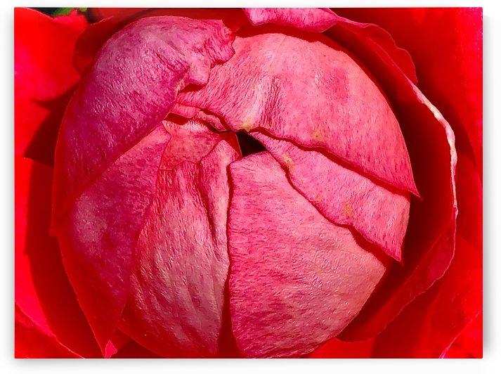 Rose Globe by BotanicalArt ca