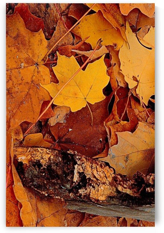 Fallen Leaves Of Orange by ImagesAsArt By John Louis Benzin