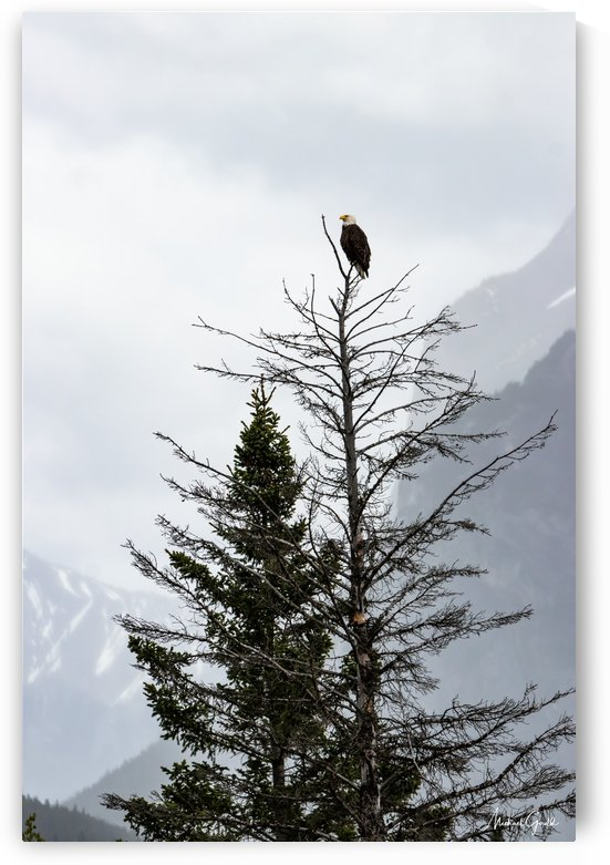 Bald Eagle In Banff National Park by Mike Gould Photoscapes