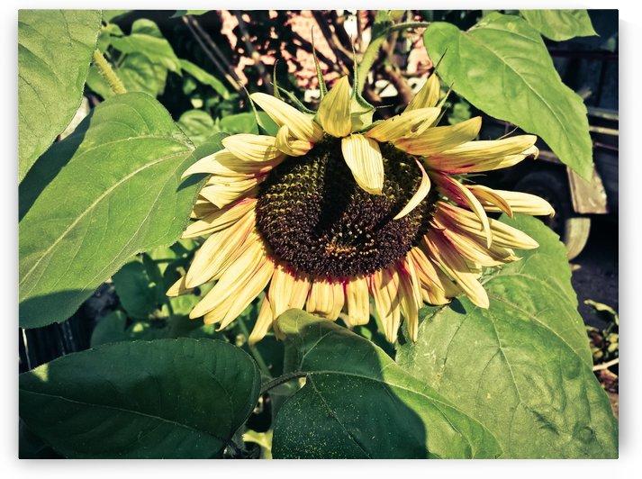 Sunflower by Mari Piskor Photography