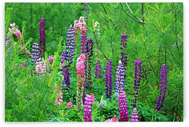 Wild Lupine by Deb Oppermann