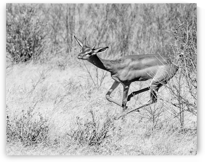 Running Antelope by ND_PHOTOGRAPHY