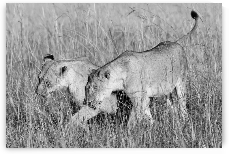 Lionesses B&W by ND_PHOTOGRAPHY