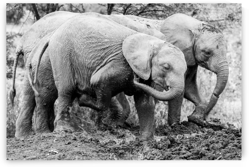 Elephant B&W by ND_PHOTOGRAPHY