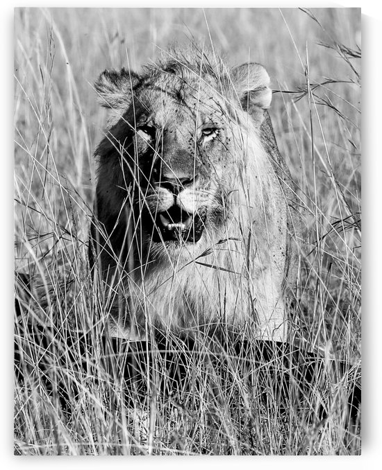 Lion in tall grass - B&W by ND_PHOTOGRAPHY