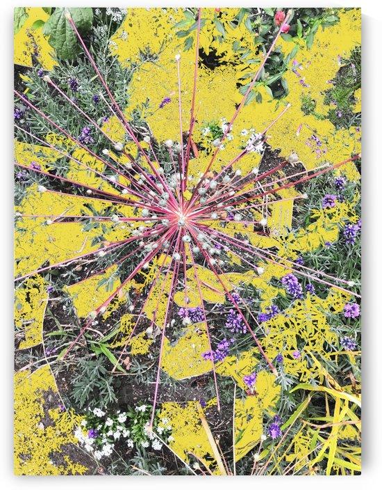 Alium Burst by BotanicalArt ca
