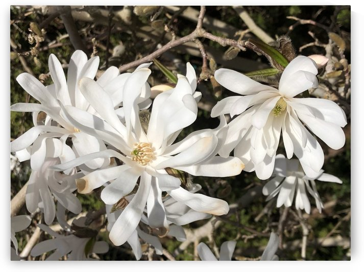 White Witch Hazel by BotanicalArt ca