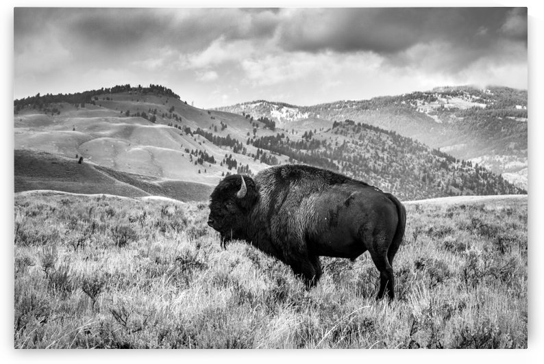 Black and White Bison by Chris Stahl Photography