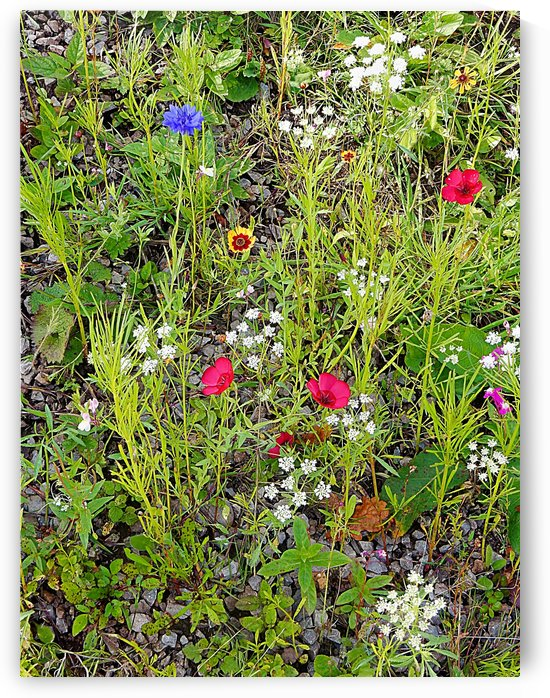 English Cottage Garden Flowers 6 by Dorothy Berry-Lound