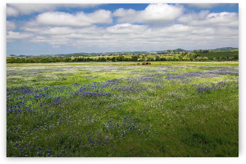Cattle Grazing On Wildflowers by Frank Wilson