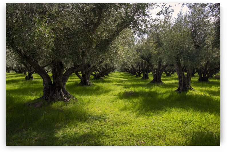 Spring in the Olive Orchard by Frank Wilson