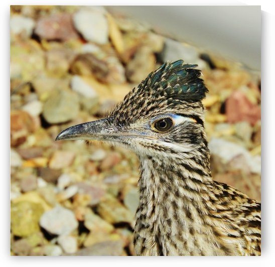 Roadrunner Close-up by Sheri Schwan