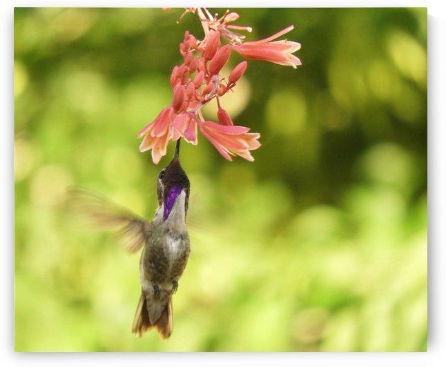 Hummingbird by Sheri Schwan