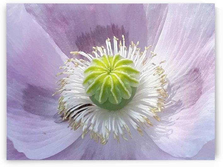 lila blute by Irene Ragoss