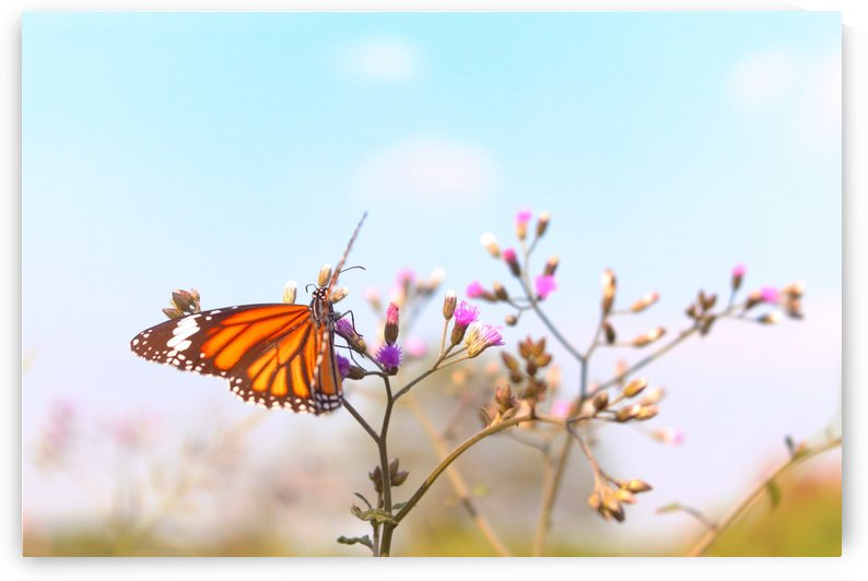 Fluttering Butterfly by Sabrina Seheri