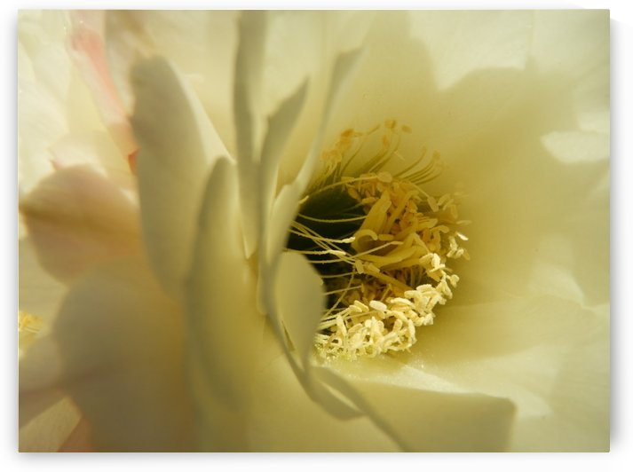 Creamy Cactus Bloom by Sheri Schwan
