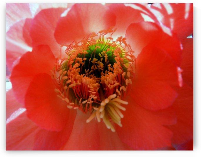 Red Cactus Flower by Sheri Schwan