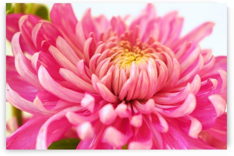 Chrysanthemum by Sabrina Seheri