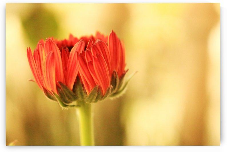 Callendula flower bud by Sabrina Seheri