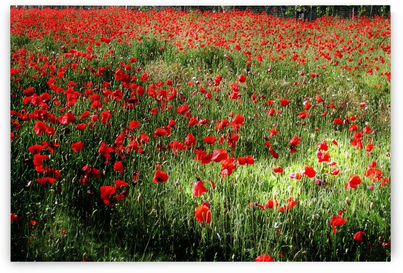 Umbrian Wildflowers 14 by Dorothy Berry-Lound