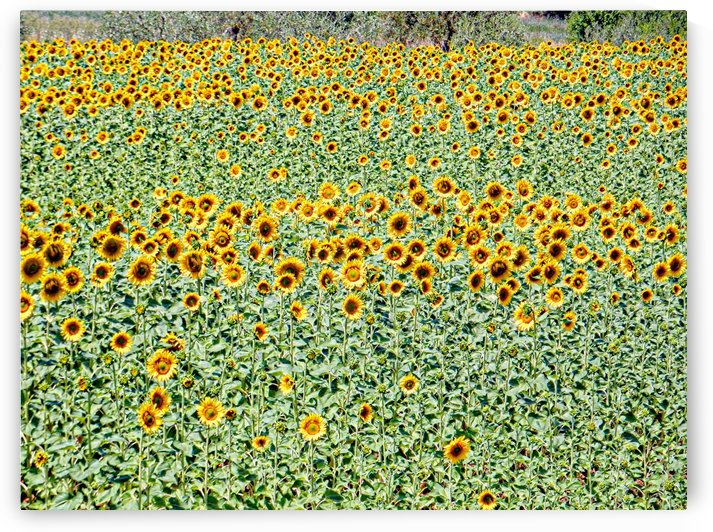 Sunflower Sea by Dorothy Berry-Lound