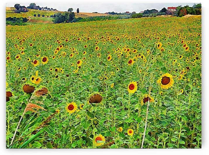 A Hillside of Sunflowers by Dorothy Berry-Lound