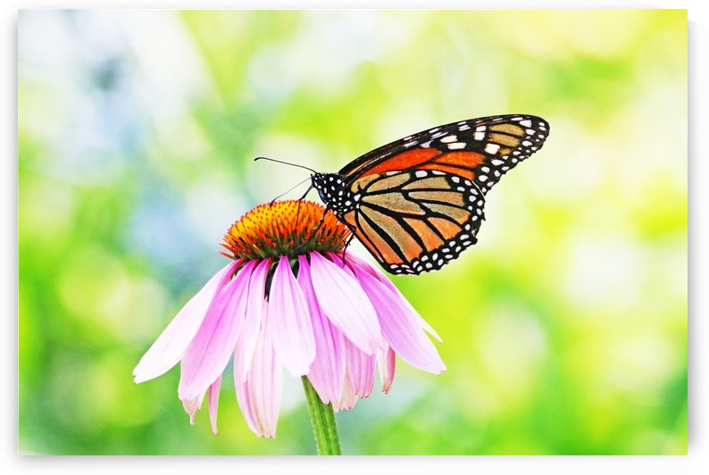 Sunny Days Monarch by Deb Oppermann