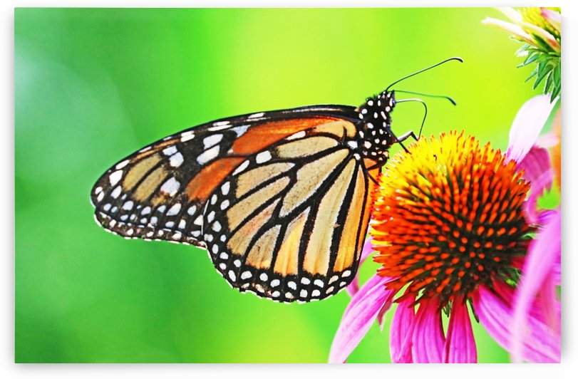 The Beauty Of The Monarch Butterfly by Deb Oppermann