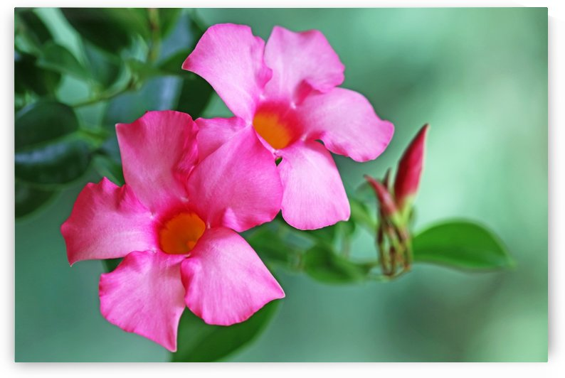 Mandevilla In Pink by Deb Oppermann