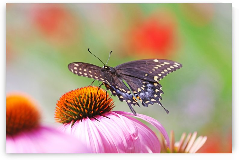 Black Swallowtail On Coneflower by Deb Oppermann