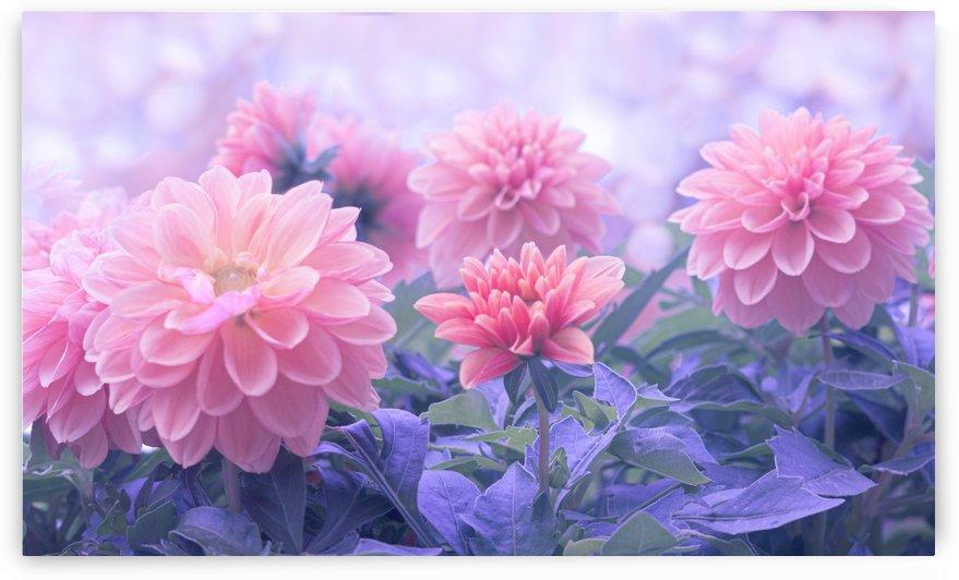 Pink Dahlia Blossom  by Joan Han