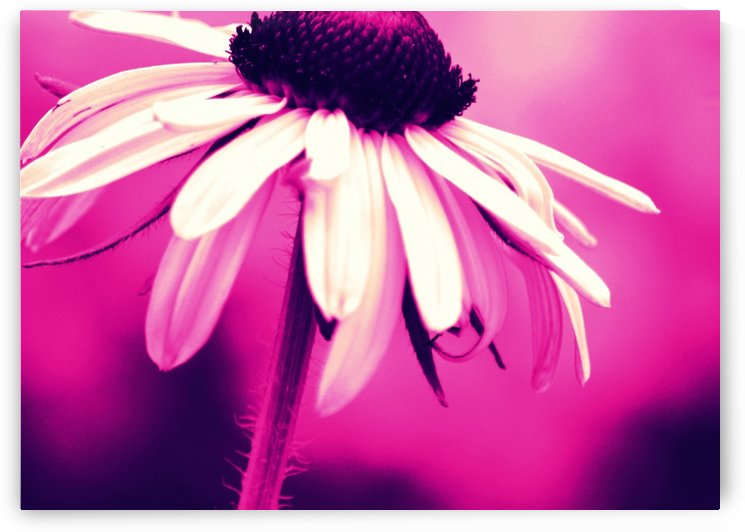 Black Eyed Susan Pink by Joan Han