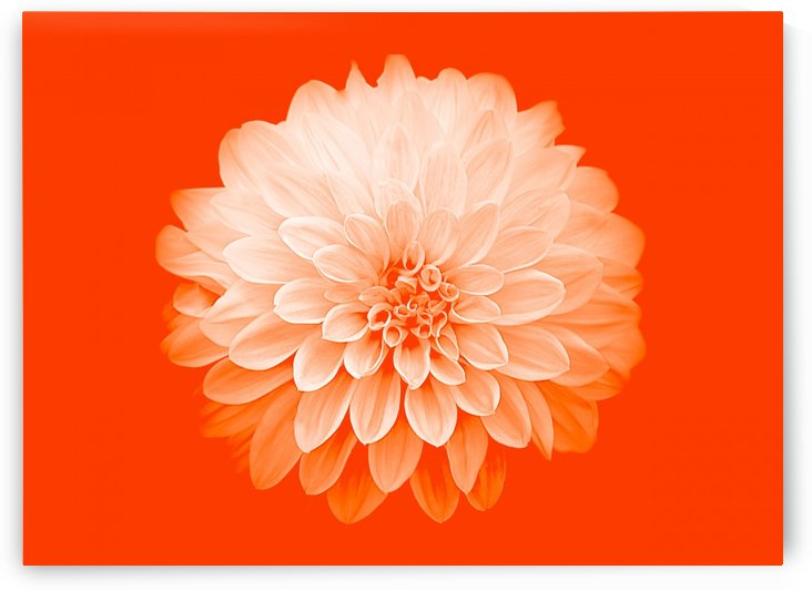Dahlia on Orange by Joan Han