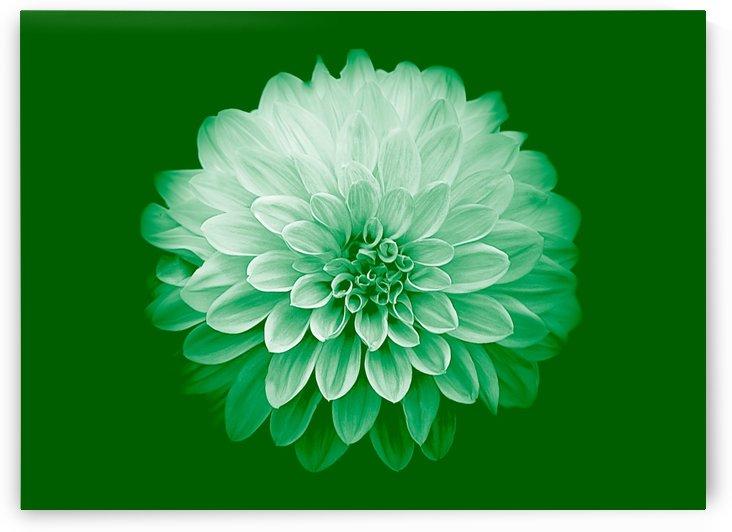 Dahlia on Green by Joan Han