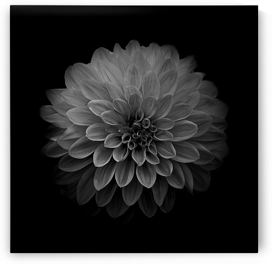 Dahlia Black and White Square by Joan Han