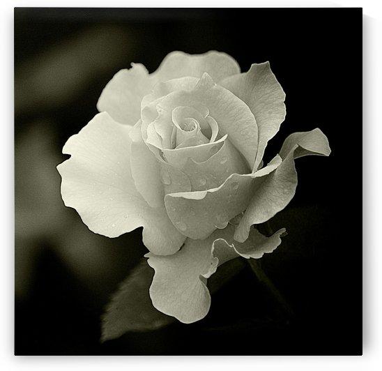 Rose II Black and White  by Joan Han
