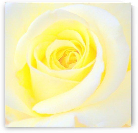 Yellow Rose I by Joan Han