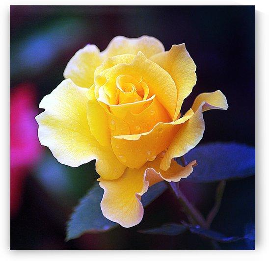 Yellow Rose II  by Joan Han