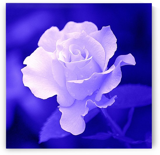 White Rose on Blue by Joan Han