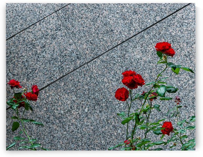 Red Roses by Maung Tin