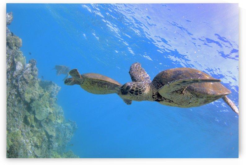 Green sea turtles  by Tatiana Gonnason