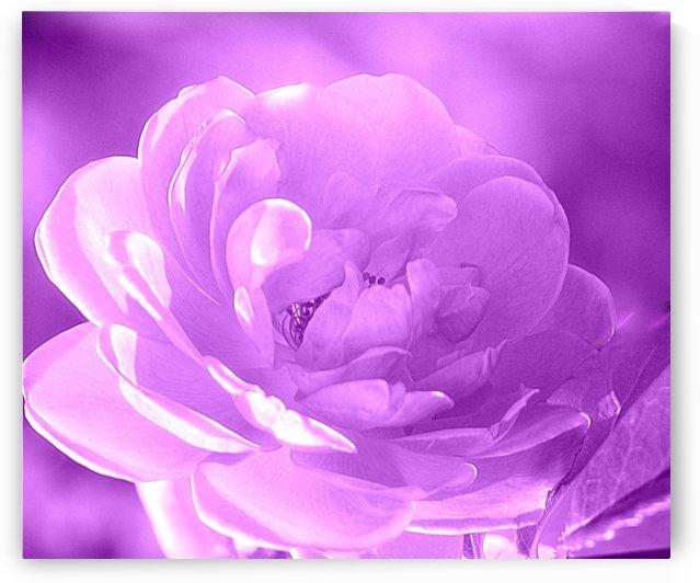 Rose I Purple  by Joan Han