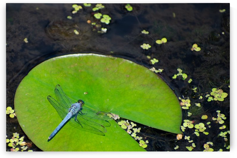 Dragonfly on a Lily by Cameraman Klein
