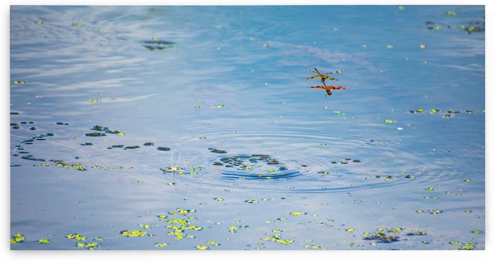 Dancing Dragonflys by Cameraman Klein