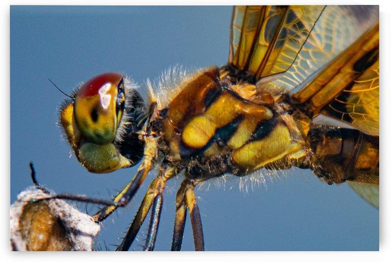 Dragonfly Macro by Cameraman Klein