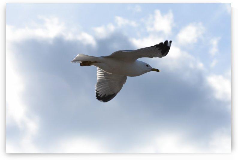 Flying Seagull by Cameraman Klein